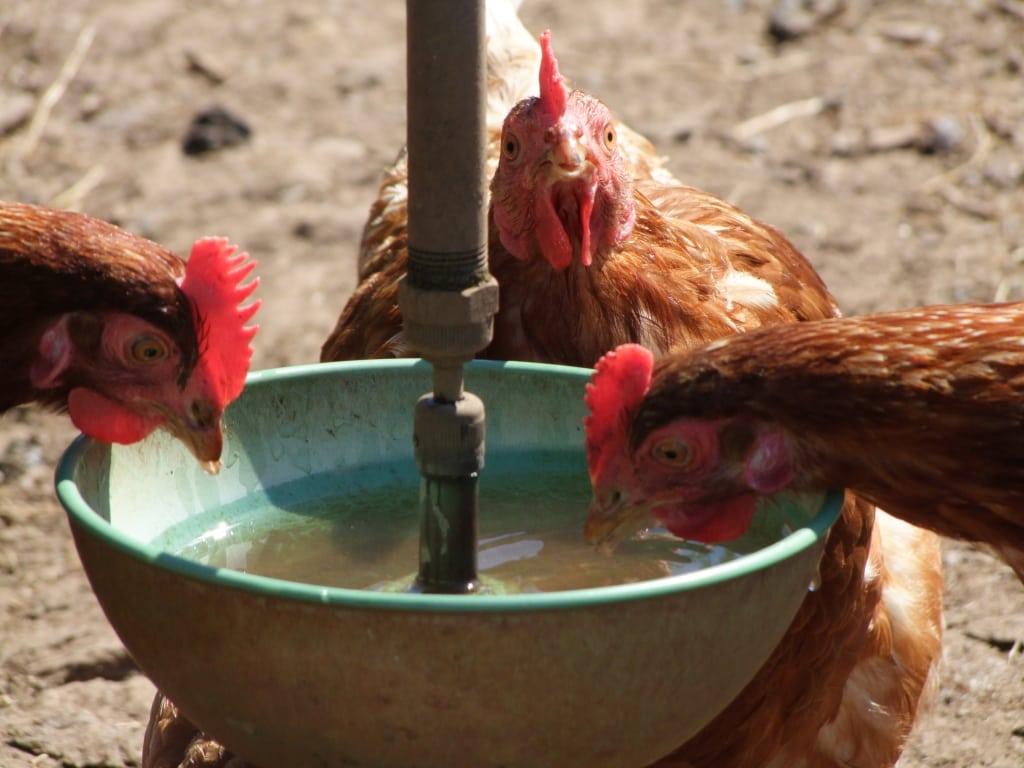 Victoria campsites chickens